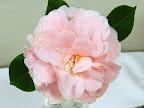 淡桃色 千重咲き 中輪