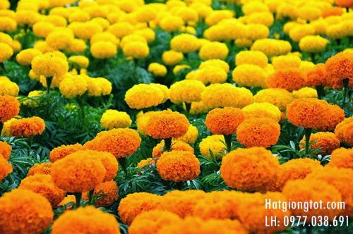Hướng dẫn chăm sóc hoa cúc vạn thọ