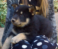 It looks like this sweet wolf dog pup will have greenish eyes like her mom.