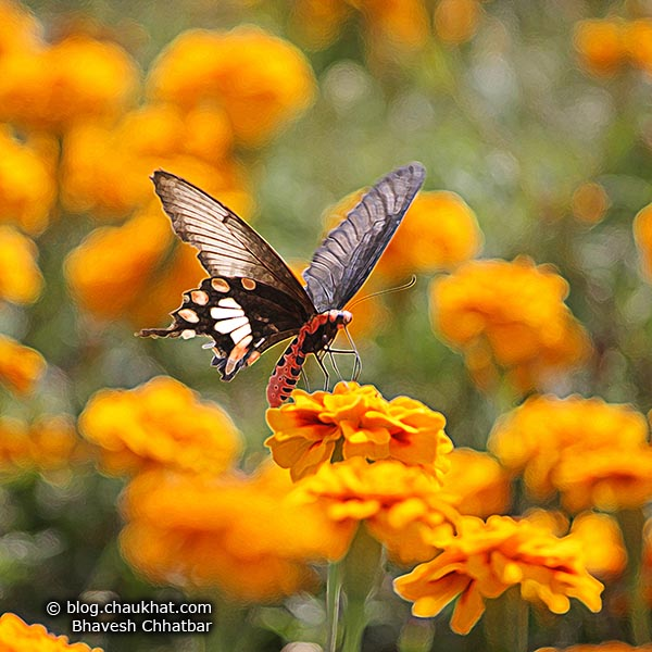 A Common Rose Butterfly feeding on Marigolds. The Common Rose Butterfly is also known as Atrophaneura Aristolochiae, Pachliopta Aristolochiae, Swallowtail Butterfly.