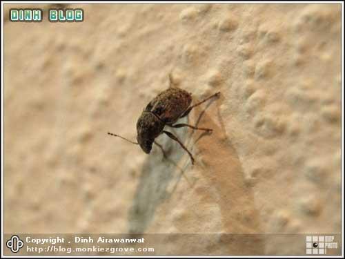แมลงหรือด้วงอะไรก็ไม่รู้
