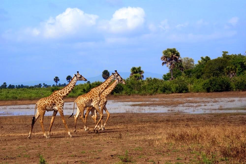 Giraffes from Africa