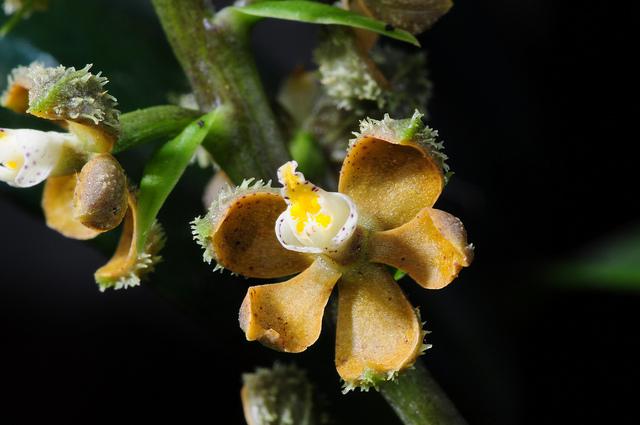 Растения из Тюмени. Краткий обзор - Страница 4 Encyclia%252520maculosa
