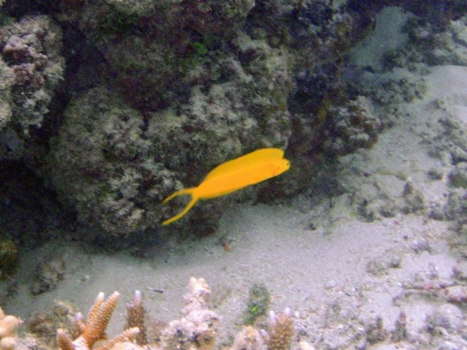 Plagiotremus laudandus flavus (Bicolor Fangblenny), Naigani Island, Fiji.