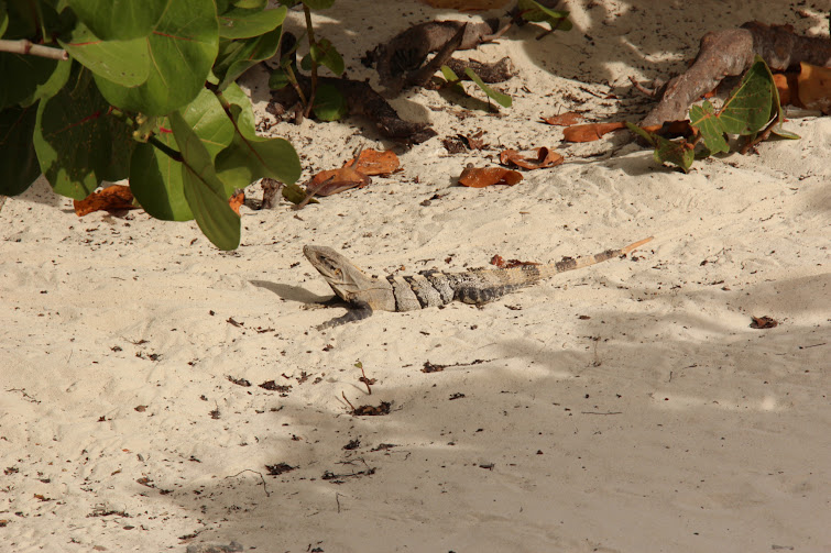iguanas are very common in cancun, mexico