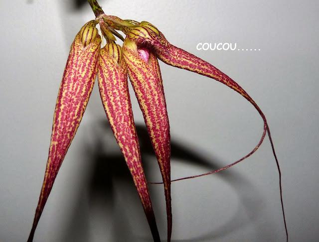 Bulbophyllum  Elizabeth Ann ' Buckleberry ' P1370304