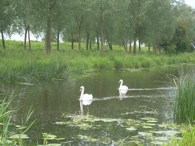 Swans on the Ouse