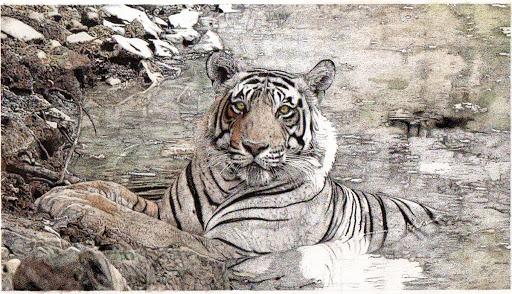 tigerupdate-2015-04-3-22-12.jpg
