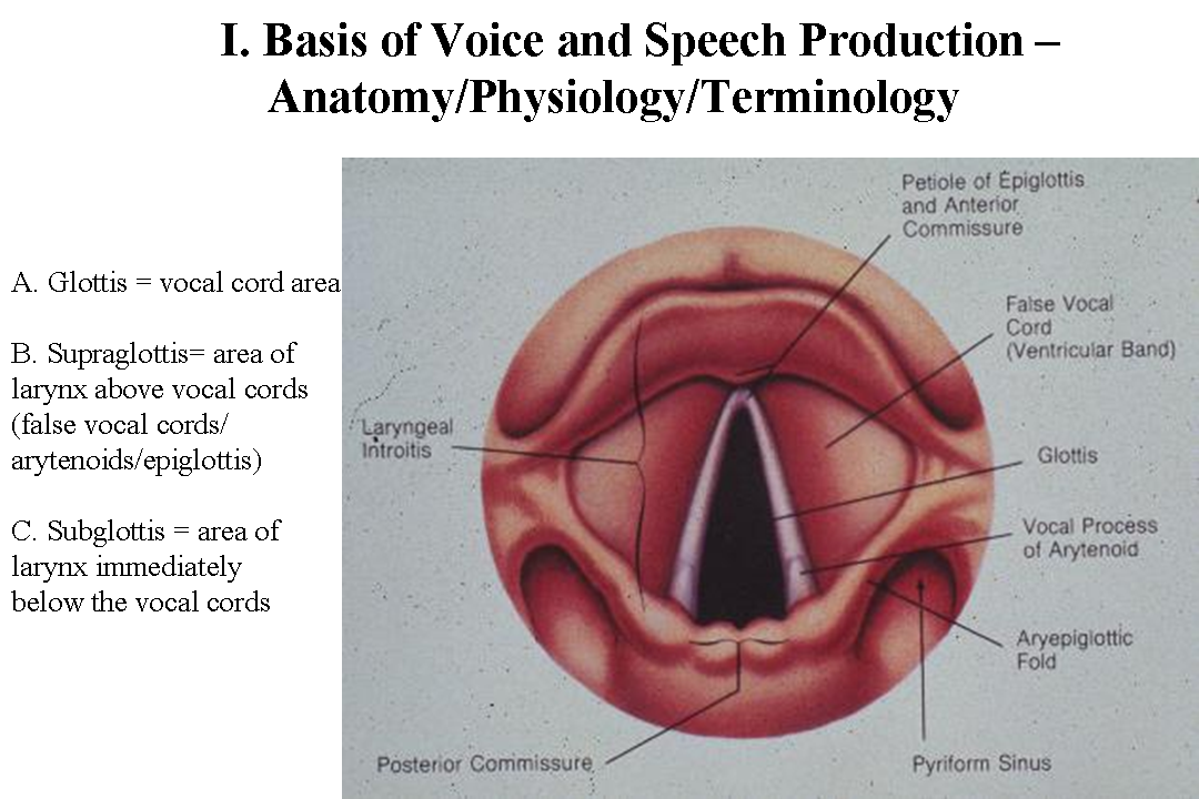 Ausgezeichnet Larynx Anatomy And Physiology Zeitgenössisch ...