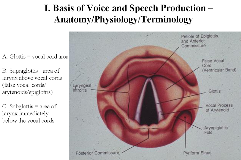 Perfect Anatomy Of Vocal Cords Larynx Mold - Anatomy And Physiology ...