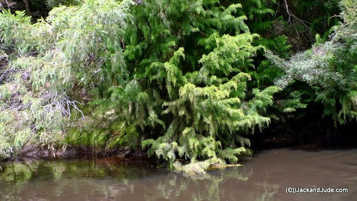 The drooping Huon Pine loves to drag in the water. River quality has improved from our visit in 2010