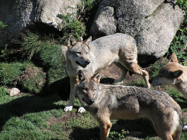 Les Loups de Chabrière PICT0470
