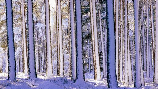Snowy Pines, Strathspey, Scotland.jpg