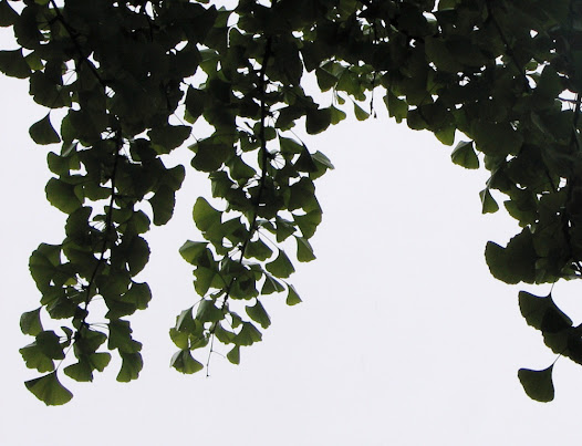 Листья Гингко билоба в Храме