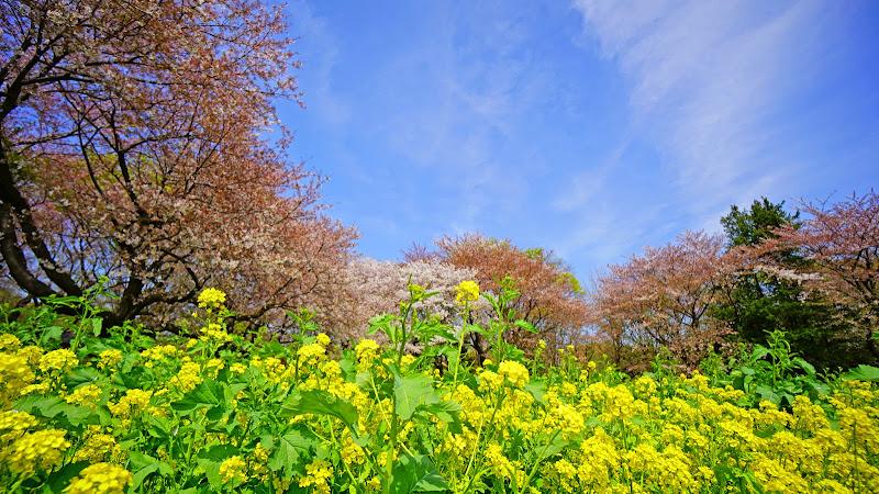 昭和記念公園 桜 写真18