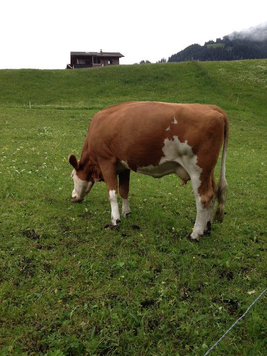 cows aplenty