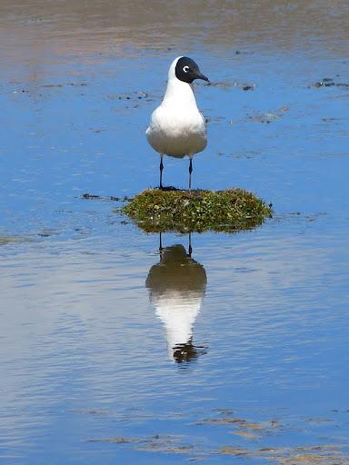 Andean gull (Chroicocephalus...