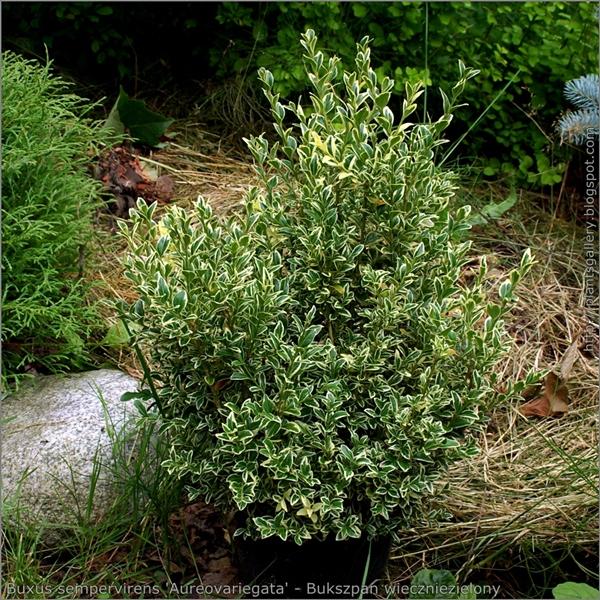 Buxus sempervirens 'Aureovariegata' habit - Bukszpan wieczniezielony pokrój młodej rośliny