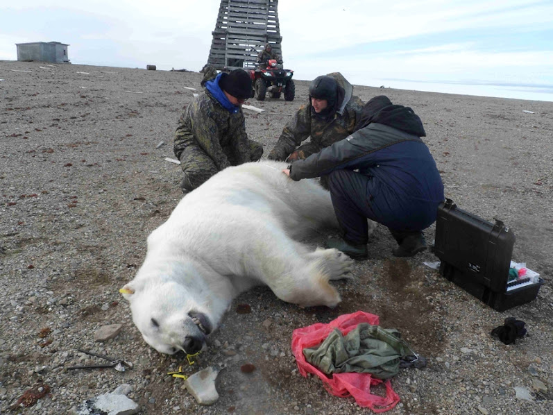 Urso pardo vs Urso polar Photolenta_big_photo