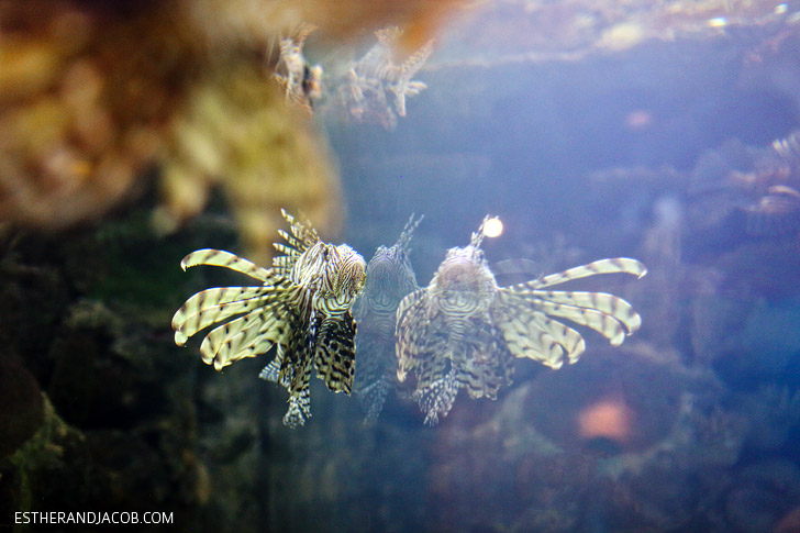 Lionfish Exhibit at the Shark Reef Aquarium at Mandalay Bay Las Vegas NV.
