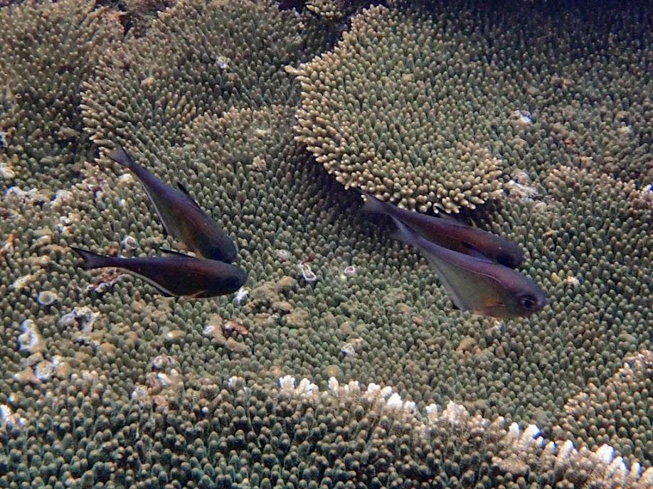 Pempheris vanicolensis (Vanikoro Sweeper), El Nido, Palawan, Philippines.