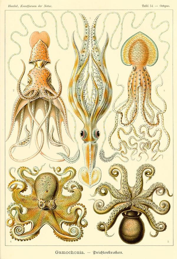 octopus gamochonia, ernst haeckel