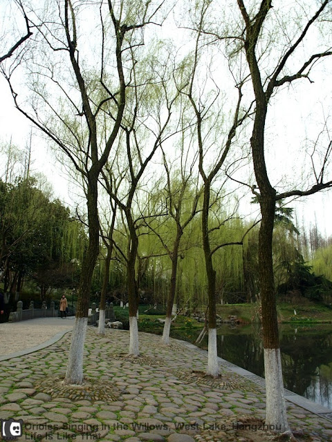 Orioles Singing in the Willows along West Lake picture hangzhou escapade  photo