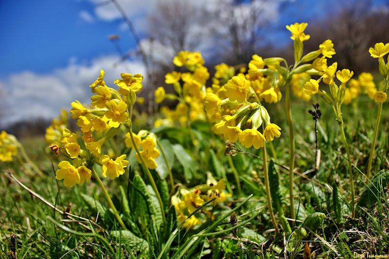 Image result for жълтее ли иглики снимки