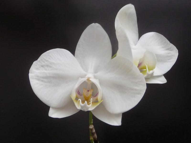 Phalaenopsis aphrodite P1220164