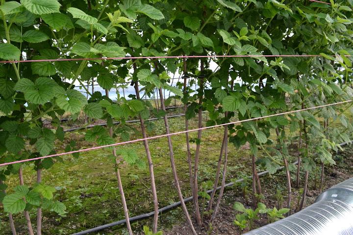 малина в Теплице