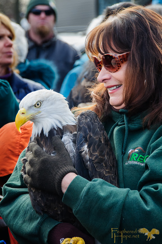 Marge Gibson of Raptor Education Group Inc walks through the crowd at Sauk City Bald Eagle Days 2013.  This eagle was rehabilitated at REGI after being hit by a vehicle and was released back into the wild at this event.