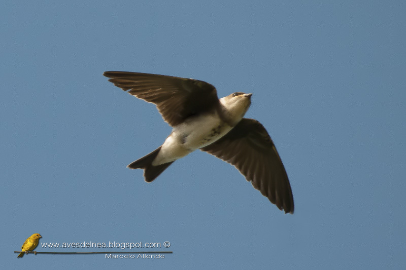 Golondrina parda (Brown-chested Martin)