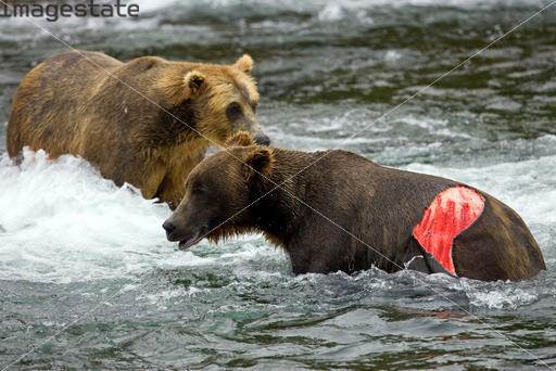 Urso pardo vs Urso polar - Página 2 4