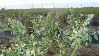 Arandanos Cultivo