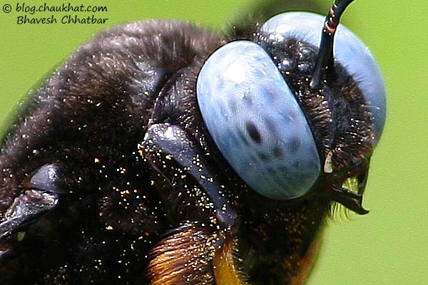 Blue-eyed carpenter bee carrying pollen grains