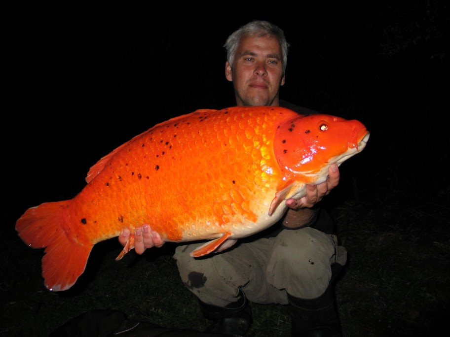 Orange carp koi and carp forum pond life for Orange koi carp