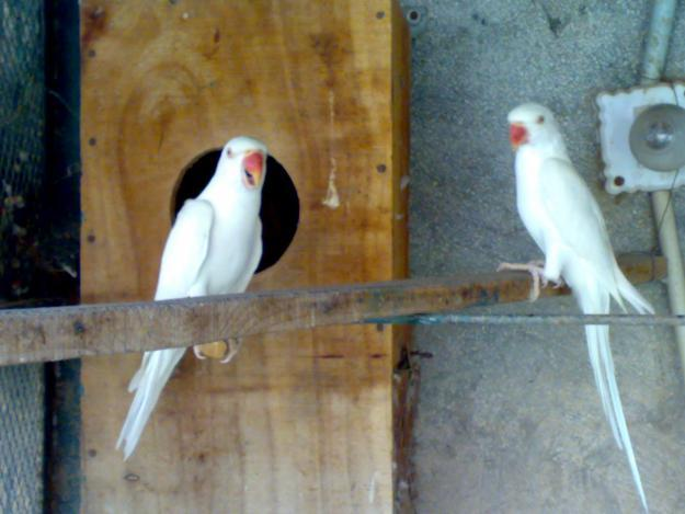 ... COLLECTION: cocktail for sale and white ring neck for sale Rawalpindi