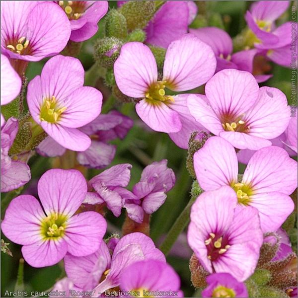 Arabis caucasica 'Rosea' flowers - Gęsiówka kaukaska kwiaty