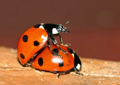 The Mating Act Of A Ladybird