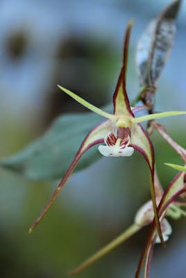 Dendrobium tetragonum IMG_0515