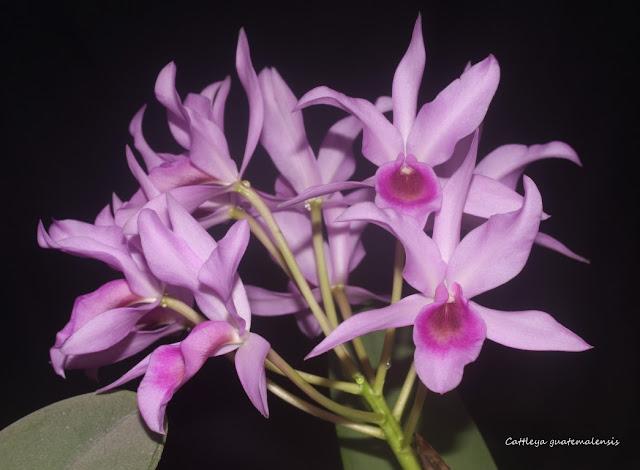 Cattleya guatemalensis IMG_1118b%2520%2528Medium%2529