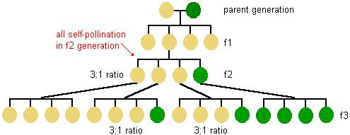 Description: diagram showing the result of cross-pollination in the 3rd offspring generation--the offspring of the 2nd generation green peas are all green, the offspring of one third of the 2nd generation yellow peas are all yellow, the offspring of the other 2nd generation yellow peas are green or yellow in a 3 to 1 ratio