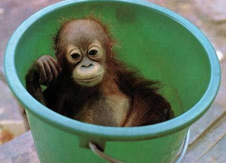 orangutan in a bucket