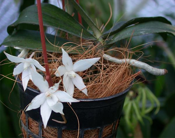 Растения из Тюмени. Краткий обзор Aerangis_biloba0
