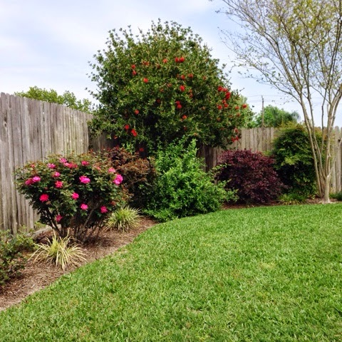 knockout roses and bottle brush tree