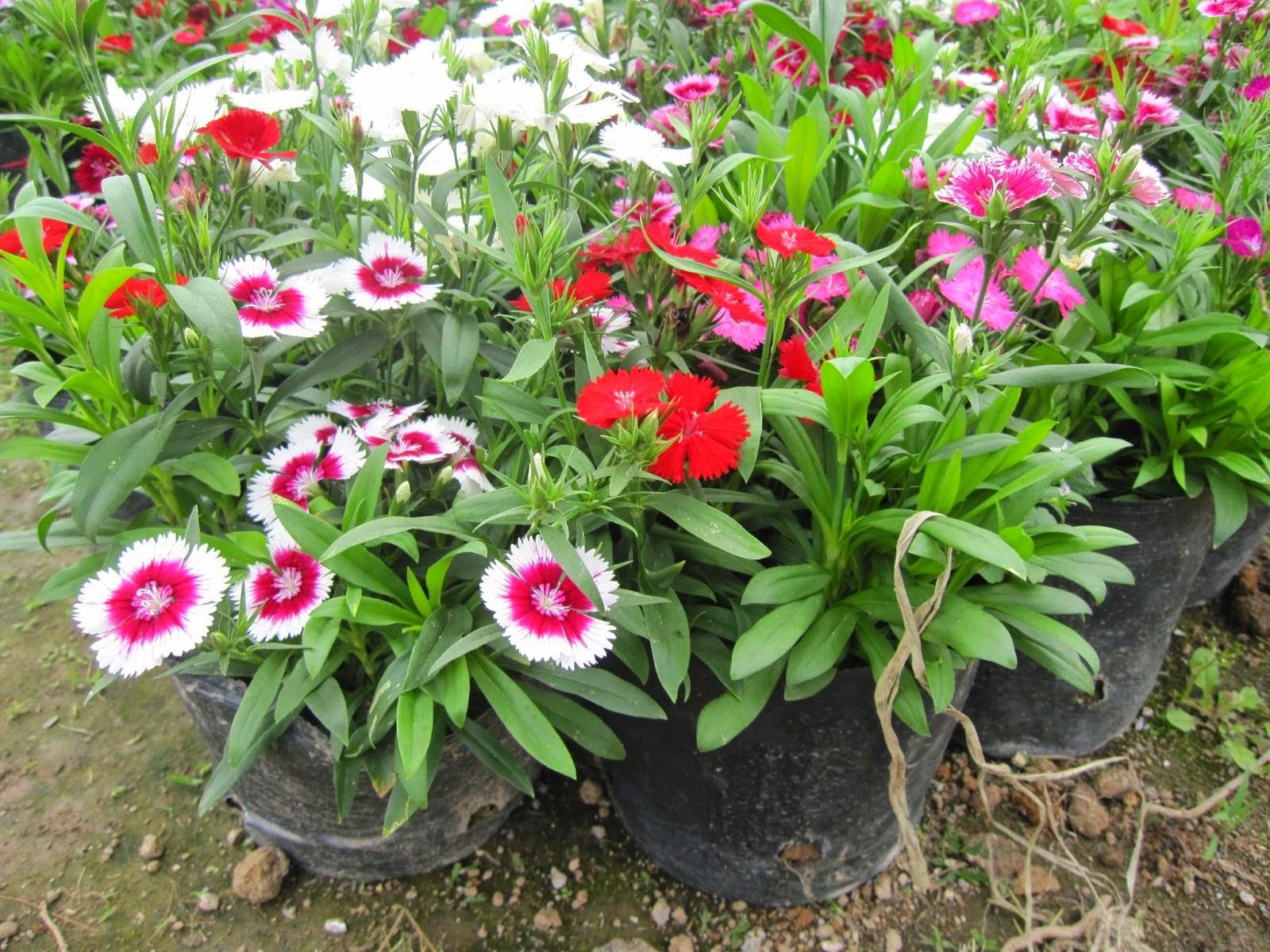 Hoa cẩm chướng viền