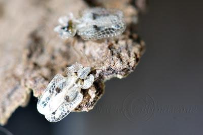 Corythuca ciliata
