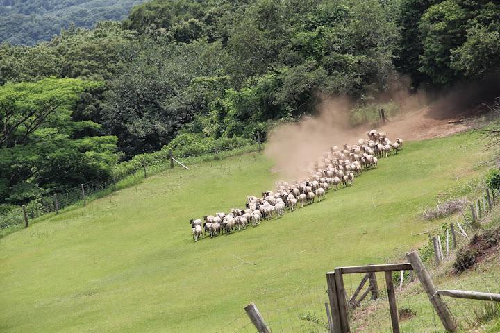 坂を走り下りる羊