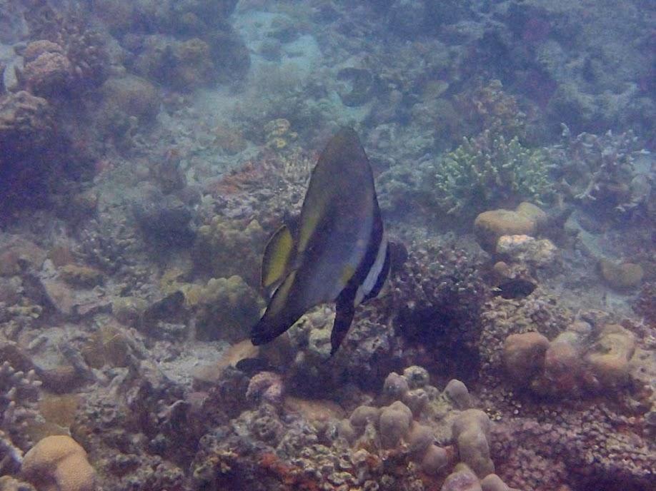 Platax teira (Longfin Batfish), Chindonan Island, Palawan. Philippines.