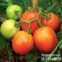 Hạt giống cà chua